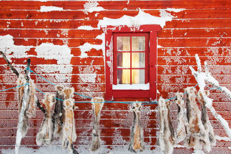 Reindeer skins hung to dry on the side of a wooden cabin in Karasjok,Finnmark region,northern Norway LANG_EVOIMAGES