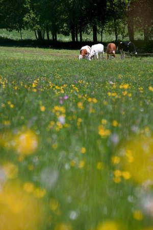 farmyards: Cows at a farm near Col de la Faucille in the Jura region of France LANG_EVOIMAGES