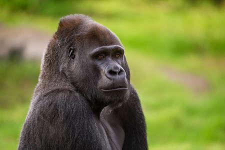 enraged: Western Lowland Gorilla looking at camera