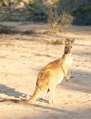 desolacion: A Western Grey Kangaroo in the Gawler Ranges National Park,South Australia,Australia