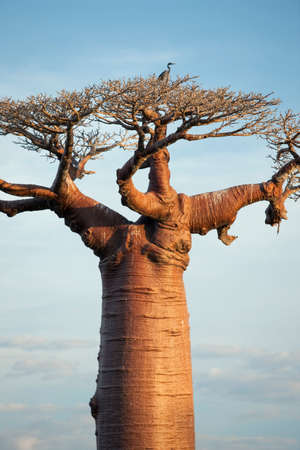 A heron sits atop a Baobab tree on Avenue of the Baobabs,near Morondava,Madagascar LANG_EVOIMAGES