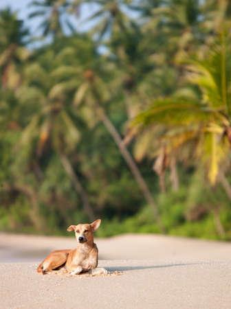 Wild dog sitting on sandy beach in Tangalle,Sri Lanka
