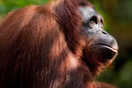 reflective: Orangutan at Semenggoh Wildlife Centre,Kuching,Sarawak,Malaysian Borneo