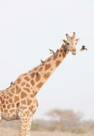 A giraffe seen in Waza National Park,in the north of Cameroon LANG_EVOIMAGES