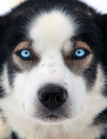 pooches: The clear blue eyes of an Alaskan Husky,Karasjok,Finnmark region,northern Norway