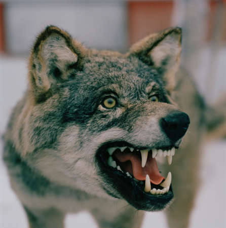 A stuffed wolf,growling,in Lapland,Sweden LANG_EVOIMAGES