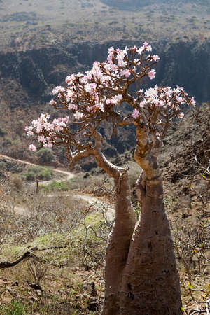 frailty: A Bottle Tree,a type of Baobab,on Socotra. Due to its geographic isolation Socotra has some of the most unique Flora and Fauna in the world. Dixsam Socotra,Yemen