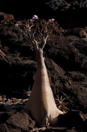 A Bottle Tree,a type of Baobab,on Socotra. Due to its geographic isolation Socotra has some of the most unique Flora and Fauna in the world. Socotra,Yemen LANG_EVOIMAGES