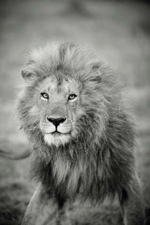 blackwhite: A male lion in Cottars Conservancy,Kenya