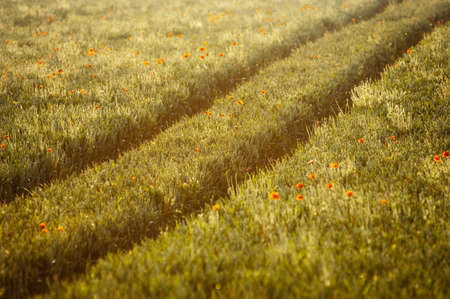 farmyards: Poppies and tractor tracks in a field in the English countryside,UK