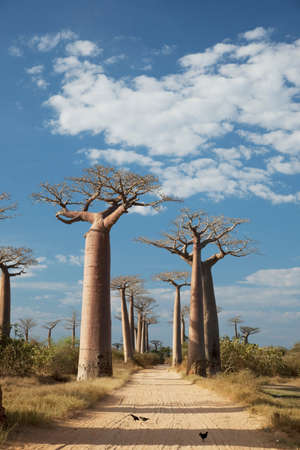 Avenue of the Baobabs,near Morondava,Madagascar