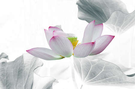 Pink and white lotus flower LANG_EVOIMAGES