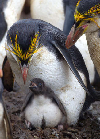 Royal Penguin with chick, amongst the colony, on a beach, along the north east coast of Macquarie Island, Southern Ocean
