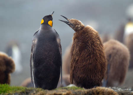 King penguin with young chick, amongst the colony, on beach, along the north east coast of Macquarie Island, Southern Ocean LANG_EVOIMAGES