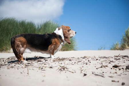 Basset Hound on beach LANG_EVOIMAGES