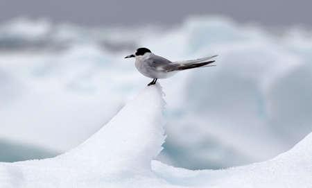 Arctic tern on ice berg, ice floe in the southern ocean, 180 miles north of East Antarctica, Antarctica