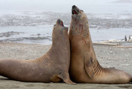 Elephant Seals fight on the beach, north east side of Macquarie Island, Southern Ocean