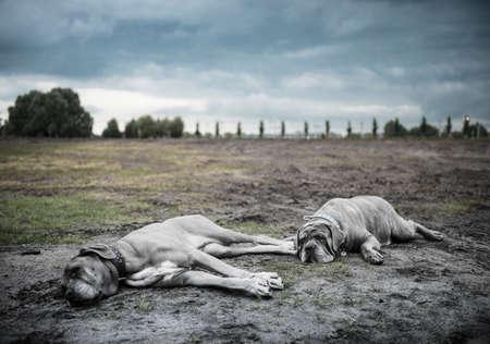 fedup: Two large grey dogs lying on wasteland
