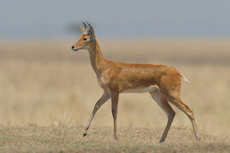 environmental issues: Bohor Reedbuck  (Redunca redunca), Mara Triangle, Maasai Mara National Reserve, Narok, Kenya, Africa