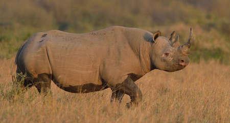 Black Rhino (Diceros bicornis), Mara Triangle, Maasai Mara National Reserve, Narok, Kenya, Africa