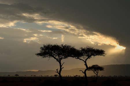 environmental issues: Storm clouds and silhouetted Acacia tortilis trees, Mara Triangle, Maasai Mara National Reserve, Narok, Kenya, Africa