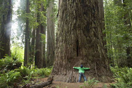 Boy hugging tree trunk, Redwoods National Park, California, USA