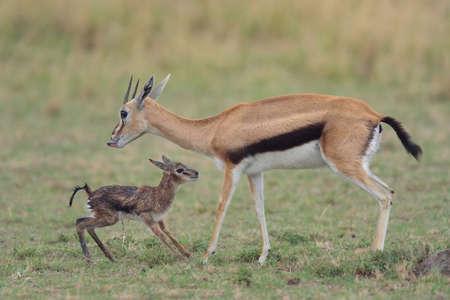 Thomsons Gazelle (Eudorcas thomsonii) and her standing newborn, Mara Triangle, Maasai Mara National Reserve, Narok, Kenya, Africa