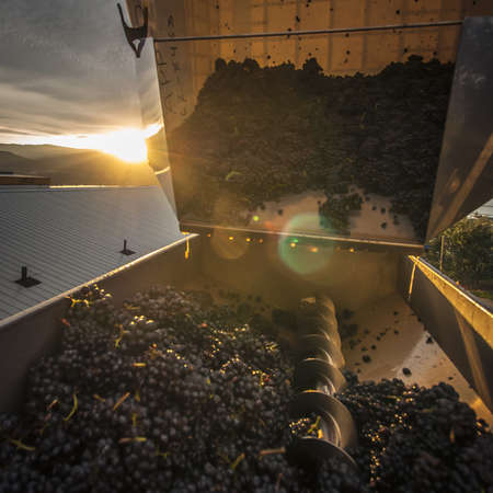 stemming: Plastic bin of Pinot noir grapes being tipped  into the machine for de-stemming, winery along the Naramata Bench, Naramata,  British Columbia, Canada