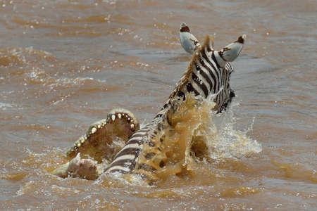 Burchells Zebra (Equus quagga)  in the jaws of a Nile Crocodile (Crocodylus niloticus) in river, Mara Triangle, Maasai Mara National Reserve, Narok, Kenya, Africa