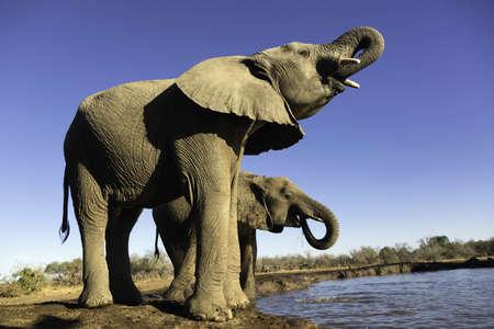 African elephants (Loxodonta africana) drinking at watering hole, Mashatu game reserve, Botswana, Africa