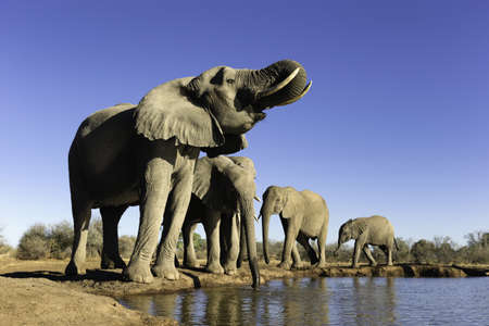 Small group of African elephants (Loxodonta africana) drinking at watering hole, Mashatu game reserve, Botswana, Africa