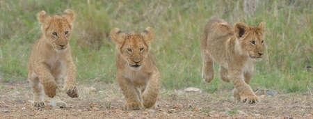 environmental issues: Three Masai Lion (Panthera leo nubica) cubs, Mara Triangle, Maasai Mara National Reserve, Narok, Kenya, Africa