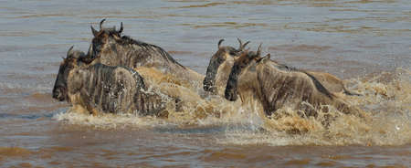 panoramas: Small group of Western white-bearded wildebeest (Connochaetes taurinus mearnsi) in river, Mara Triangle, Maasai Mara National Reserve, Narok, Kenya, Africa LANG_EVOIMAGES