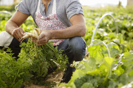 farmyards: Cropped image of farmer harvesting root vegetables