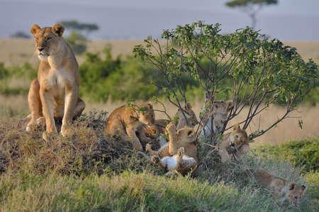 Masai Lioness (Panthera leo nubica) with her cubs, Mara Triangle, Maasai Mara National Reserve, Narok, Kenya, Africa