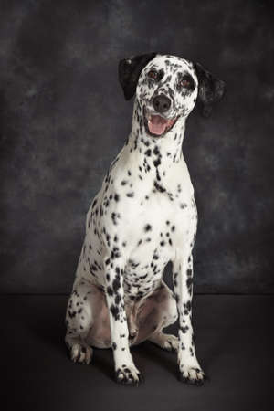 pooches: Studio portrait of dalmatian dog looking at camera