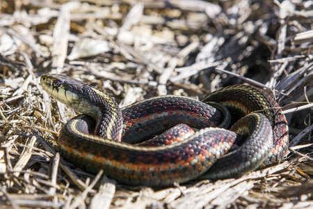 Coast garter snake, thamnophis elegans terrestris, Marin County, California, USA