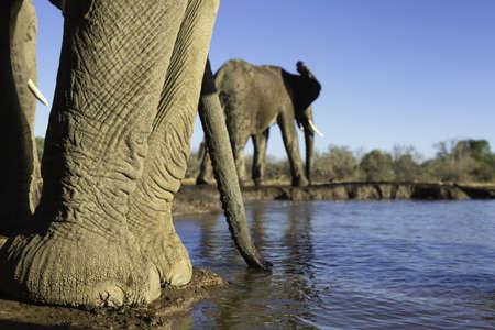 environmental issues: African elephants (Loxodonta africana) at watering hole, Mashatu game reserve, Botswana, Africa LANG_EVOIMAGES
