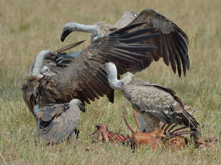 scavenging: Griffon Vultures (Gyps fulvus) with carcass, Mara Triangle, Maasai Mara National Reserve, Narok, Kenya, Africa LANG_EVOIMAGES