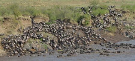environmental issues: Western white-bearded wildebeest (Connochaetes taurinus mearnsi) on distant riverbank, Mara Triangle, Maasai Mara National Reserve, Narok, Kenya, Africa LANG_EVOIMAGES