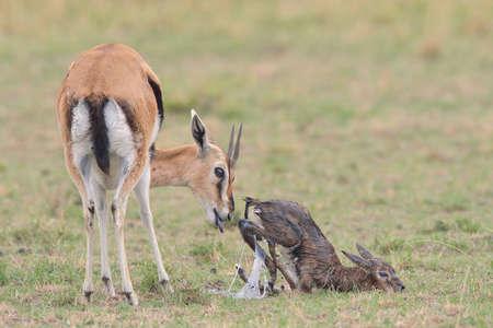 Thomsons Gazelle (Eudorcas thomsonii) and her newborn, Mara Triangle, Maasai Mara National Reserve, Narok, Kenya, Africa LANG_EVOIMAGES