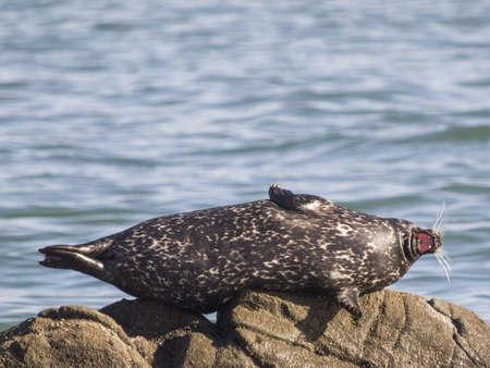 Harbor Seal, Phoca vitulina, Marin County, California, USA