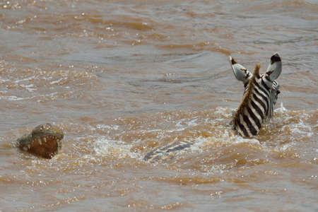 Burchells Zebra (Equus quagga)  escaping from Nile Crocodile (Crocodylus niloticus) in river, Mara Triangle, Maasai Mara National Reserve, Narok, Kenya, Africa