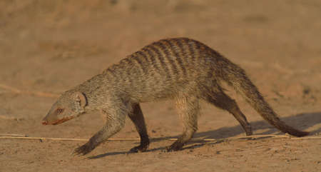 Banded Mongoose (Mungos mungo), Mara Triangle, Maasai Mara National Reserve, Narok, Kenya, Africa