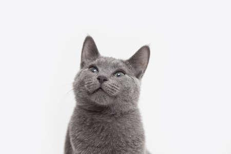 Studio portrait of alert russian blue kitten looking up