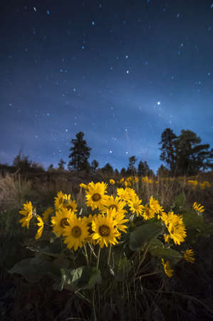Arrowleaf balsamroot flowers at night, Naramata, British Columbia, Canada