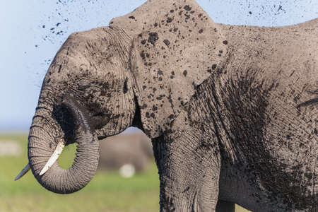 African elephant (Loxodonta africana) LANG_EVOIMAGES