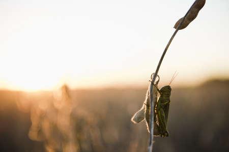 Silhouetted grasshopper on soybean stem at sunset, Plattsburg, Missouri, USA