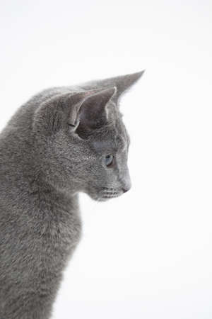 Side view of Russian Blue cat