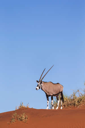 Gemsbok (Oryx gazella) LANG_EVOIMAGES